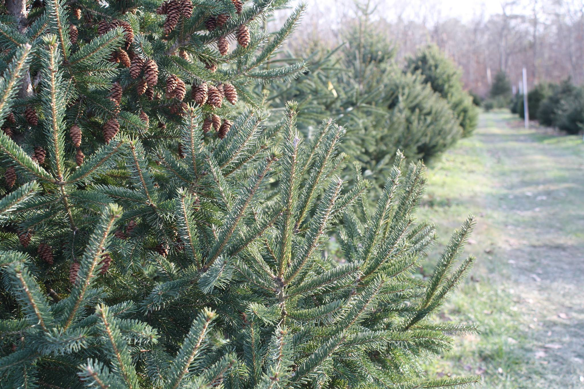 mikes christmas tree farm is a family owned business with thousands of trees to choose from cutting your own tree at mikes christmas tree farm is a